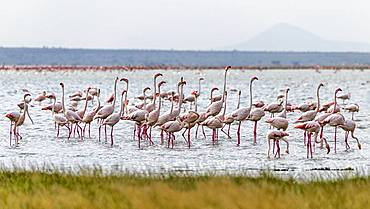 Flamingos (Phoenicopteriformes) standing in shallow water, Amboseli National Park, Kenya, Africa
