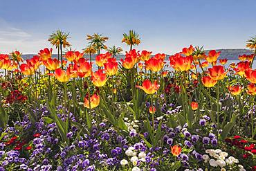 Colourful flowerbeds with different flowering spring flowers, Tulips (Tulipa) and pansies (Viola), on the promenade, Ueberlingen, Lake Constance, Baden-Wuerttemberg, Germany, Europe