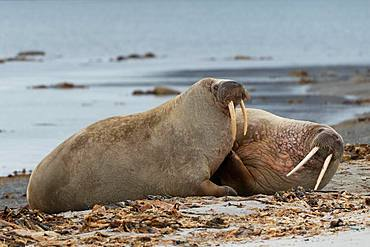 Two Walruses (Odobenus rosmarus), located on the beach, Smeerenburgfjord, Spitsbergen Archipelago, Svalbard and Jan Mayen, Norway, Europe