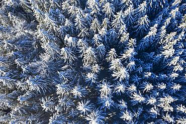 Snow-covered spruces, spruce forest, drone shot, Upper Bavaria, Bavaria, Germany, Europe