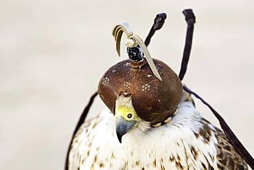 Falcon with falcon bonnet, Doha, Qatar, Qatar, Asia