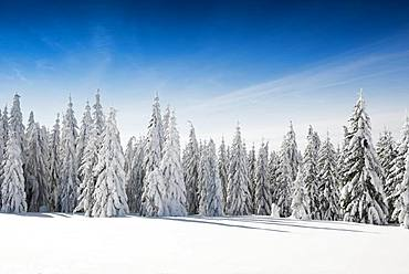 Snow-covered spruces in sunshine, Stuebenwasen, Todtnauberg, Black Forest, Baden-Wuerttemberg, Germany, Europe