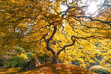 Downy Japanese Maple (Acer japonicum) with autumn colour, Japanese Garden, Portland, Oregon, USA, North America
