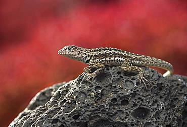 Floreana lava lizard (Microlophus grayii), male on lava rock, Floreana Island, Galapagos Islands, Ecuador, South America