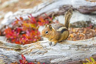 Golden-mantled ground squirrel (Callospermophilus lateralis) sits on a weathered tree trunk, Mount Rainier National Park, Washington, USA, North America