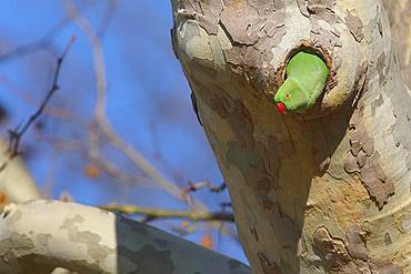 Rose-ringed parakeet (Psittacula krameri), female looking out of nest cave in a Plane tree (Platanus), palace gardens Biebrich, Hesse, Germany, Europe