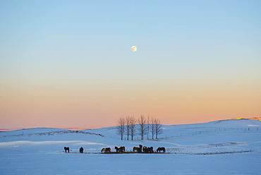 Snowy landscape with Icelandic horses (Equus islandicus), at sunset, Sudurland, Iceland, Europe