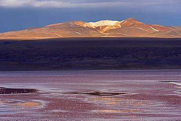 Laguna Colorada with flamingos, 4.323 m altitude, border to Chile, Andes, Altiplano, Reserva Nacional de Fauna Andina Eduardo Abaroa, Departamento Potosi, Bolivia, South America