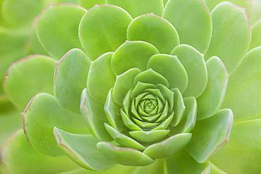 Leaf rosette of houseleek tree (Aeonium), La Gomera, Canary Islands, Spain, Europe