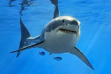 White shark (Carcharodon carcharias), swimming in the open sea, Pacific, Guadalupe Island, Mexico, Central America
