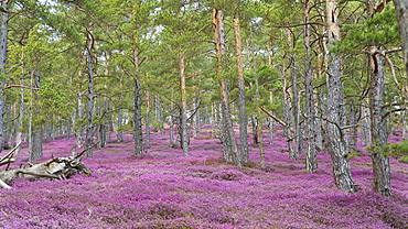 Sea of flowers with flowering purple Heather (Calluna vulgaris) in the pine forest, Styria, Austria, Europe