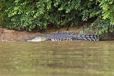 Saltwater crocodile (Crocodylus porosus) on embankment, Kinabatangan River, Sabah, Borneo, Malaysia, Asia