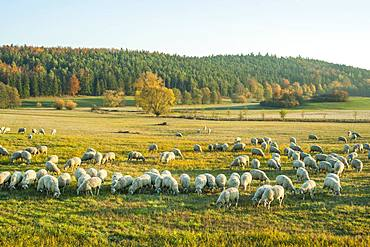 A herd of sheep, domestic sheep, grazing, Rhoen Biosphere Reserve, Thuringia, Germany, Europe