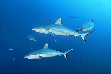 Four Grey reef sharks (Carcharhinus amblyrhynchos) swimming in the open sea, Indian Ocean, Maldives, Asia