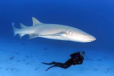 Diver observing Tawny nurse shark (Nebrius ferrugineus), Indian Ocean, Maldives, Asia