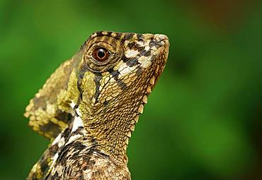 Smooth helmeted iguana (Corytophanes cristatus), animal portrait, Costa Rica, Central America
