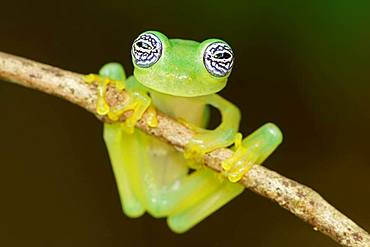 Glass frog (Sachatamia ilex) hangs on branch, Costa Rica, Central America