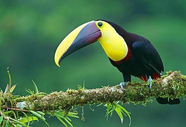 Black-mandibled toucan (Ramphastos ambiguus) sits on mossy branch, Costa Rica, Central America