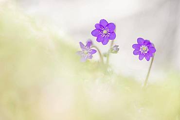 Ordinary Liverwort (Hepatica nobilis), Kalkalpen National Park, Upper Austria, Austria, Europe