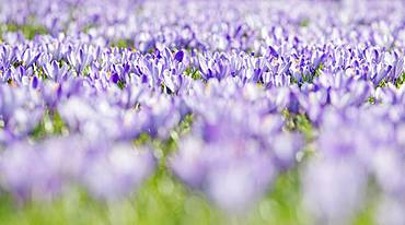 Sea of flowers with purple woodland crocus (Crocus tommasinianus), Lower Austria, Austria, Europe