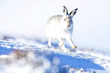 Mountain hare (Lepus timidus) runs in the snow, Winterfell, Highlands, Scotland, United Kingdom, Europe