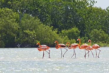 American flamingos (Phoenicopterus ruber), standing in the water, biosphere reserve Ria Lagartos, Yucatan, Mexico, Central America