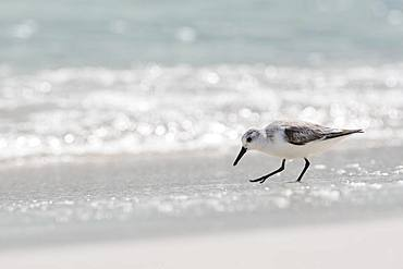 Sanderling (Calidris alba) runs in shallow water, Rio Lagartos, Yucatan, Mexico, Central America
