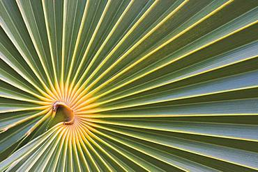 Palm leaf of a fan palm, detail, Cayo Santa Maria, Cuba, Central America