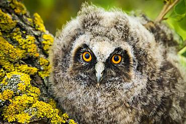 Long-eared owl (Asio otus), juvenile, portrait, Burgenland, Austria, Europe