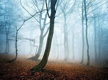 Mysterious deciduous forest with fog in autumn, bare Beeches (Fagus), Ore Mountains, Czech Republic, Europe