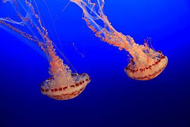 Purple-striped jellyfishes (Chrysaora colorata), in water, California, USA, North America