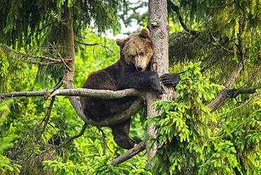 European Brown bear (Ursus arctos) sitting in a tree, National Park Bavarian Forest, Bavaria, Germany, Europe