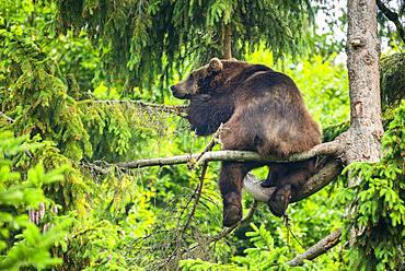 European Brown bear (Ursus arctos) sitting in a tree, National Park Bavarian Forest, Bavaria, Germany, Europe