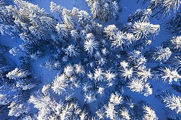 Snow-covered spruce forest, drone shot, Upper Bavaria, Bavaria, Germany, Europe