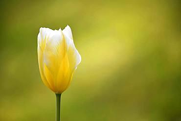 Tulip (Tulipa), yellow blossom, Germany, Europe