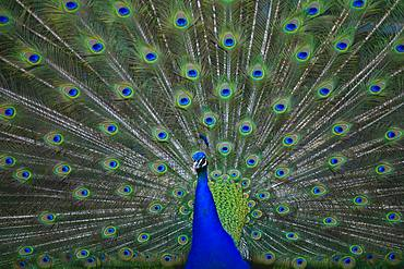 Indian peafowl (Pavo cristatus), rooster, cartwheel, Baden-Wuerttemberg, Germany, Europe