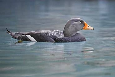 Fuegian steamer duck (Tachyeres pteneres), floats in water, captive, Germany, Europe