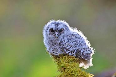 Tawny owl (Strix aluco), young bird sits on mossed branch, North Rhine-Westphalia, Germany, Europe