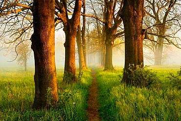 Narrow path through oak and ash avenue, fog, morning light, Naumburg, Saxony-Anhalt, Germany, Europe