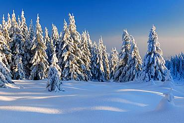Snow-covered winter landscape, snow-covered spruces, Harz National Park, Saxony-Anhalt, Germany, Europe