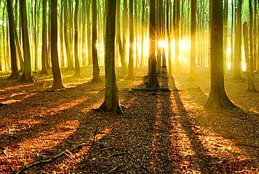 Sun shines brightly through natural beech forest (Fagus sp.), Stubnitz, Jasmund National Park, island Ruegen, Mecklenburg-Western Pomerania, Germany, Europe