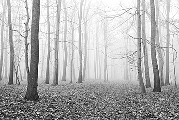 Bald forest in winter, dense fog, black and white, near Naumburg, Saxony-Anhalt, Germany, Europe