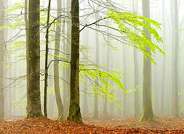 Beech forest in spring in dense fog, fresh green leaves, Kellerwald-Edersee nature park, Hesse, Germany, Europe