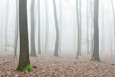Bald forest in winter, dense fog, near Naumburg, Saxony-Anhalt, Germany, Europe