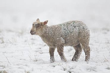 Domestic lamb (Ovis aries) in a snow covered field, Suffolk, England, United Kingdom, Europe