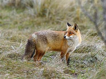 Red fox (Vulpes vulpes), standing and looking backwards, Waterleidingduinen, North Holland, Netherlands