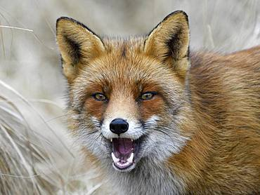 Red fox (Vulpes vulpes), with open mouth and erect ears, animal portrait, Waterleidingduinen, North Holland, Netherlands