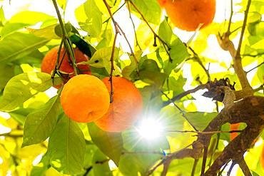 Ripe oranges backlit, Granada, Spain, Europe