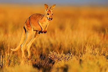 Red Giant kangaroo (Macropus rufus), young animal jumping, Sturt National Park, New South Wales, Australia, Oceania