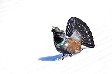 Western capercaillie (Tetrao urogallus), during the courtship display in the snow, Salzburger Land, Austria, Europe